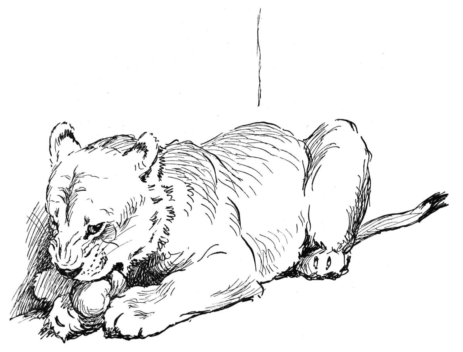 realistic mountain lion coloring pages - photo#13
